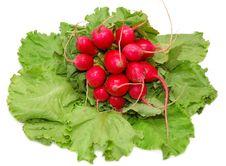 Free Garden Radish Bunch On Green Leaves Royalty Free Stock Photos - 16322388