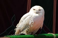 Free Snowy Owl Royalty Free Stock Image - 16323016
