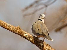 Free Portrait Of Ring-necked Dove Royalty Free Stock Photos - 16323038