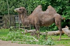 Free Camel Royalty Free Stock Photo - 16323455