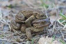 Free Toad (bufo, Bufo) Royalty Free Stock Image - 16323596