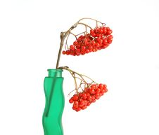 Free Still Life With Red Natural Rowan Royalty Free Stock Photo - 16323675
