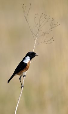 Stonechat Royalty Free Stock Images