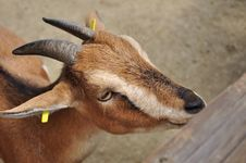 Free Animal Goat Royalty Free Stock Image - 16324596