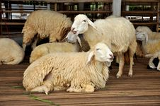 Sheep Park Grass Group Royalty Free Stock Photos