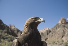 Free Eagle In Mountains Of Kazakhstan. Stock Photography - 16327132