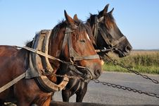Free Two Horses In A Team. Royalty Free Stock Images - 16328049
