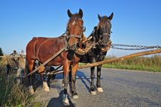 Free Two Horses In A Team. Royalty Free Stock Image - 16328056