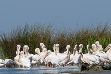 Free White Pelicans Colony Stock Photo - 16328640