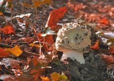 Free White Mushroom Stock Photography - 16329332