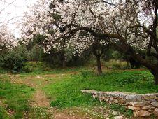 Free Almond Tree Royalty Free Stock Image - 16329956