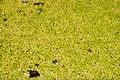 Free Lotus Pond Royalty Free Stock Photos - 16333268