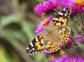 Free Butterfly On Flowers Stock Images - 16333504