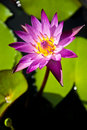 Free Lotus Royalty Free Stock Image - 16338326