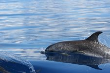 Free Wild Dolphin Royalty Free Stock Photo - 16330505