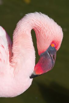 Free Pink Flamingo Stock Photo - 16331330