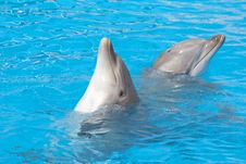 Free Pair Of Bottlenose Dolphins Stock Photos - 16331373