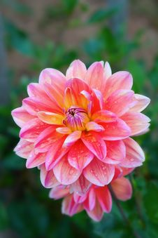 Free Dahlia Flower Stock Photography - 16331652
