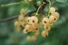 Free White Currants Stock Images - 16331714