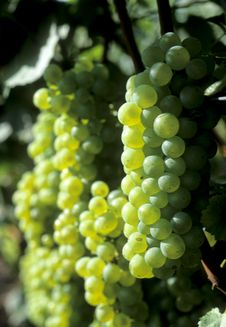 Free White Wine Stock Photo - 16332490