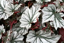 Free Angel-wing Begonia Royalty Free Stock Image - 16333086
