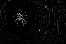 Free Garden Spider (Araneus Diadematus) Royalty Free Stock Photos - 16333748