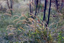 Dog S Tail Grass Stock Images