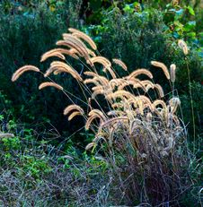 Dog S Tail Grass Stock Photography