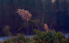 Free Ornamental Grass Royalty Free Stock Photo - 16335905