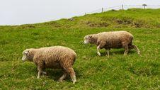 Free Woolly Sheep Royalty Free Stock Image - 16336156