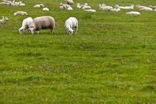 Free Flock Of Sheep Grazing Royalty Free Stock Image - 16336446