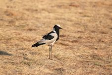 Free Blacksmith Plover Bird Royalty Free Stock Photography - 16336797
