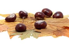 Free Chestnut On Maple Leaves Stock Photos - 16337123
