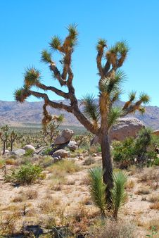 Free Joshua Tree And Desert Royalty Free Stock Photos - 16337808