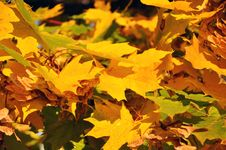 Free Leaves Of Maple Stock Photography - 16337842