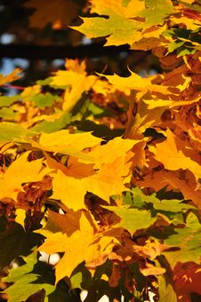 Free Yellow Leaves Of Maple Royalty Free Stock Photography - 16337887