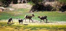 The Big Horn Sheeps Royalty Free Stock Photos