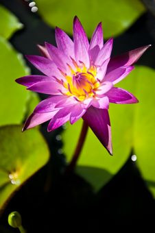 Free Lotus Royalty Free Stock Image - 16338326