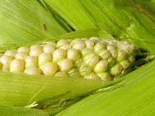 Free Fresh Corn Cob Background Royalty Free Stock Photo - 16338805