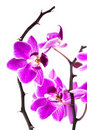 Free Orchid Isolated On White Stock Photography - 16342382