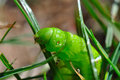 Free Horned Tomato Worm Royalty Free Stock Photos - 16344048