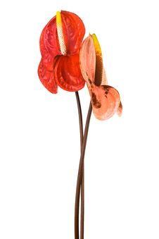 Free Two Anthurium Stock Photos - 16340143