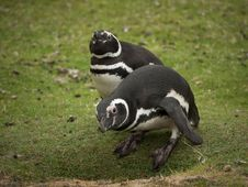 Free Two Curious Magellanic Penguins Stock Photo - 16340210