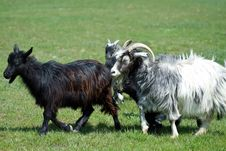 Free Goat On A Grass Field Royalty Free Stock Image - 16340296