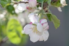 Free Apple Blossom Close-up Royalty Free Stock Photos - 16340428