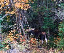 Free Moose At Wild Royalty Free Stock Photo - 16340645
