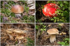 Free Four Pictures Of Mushrooms. Collage. Stock Photos - 16340763