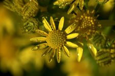Free Yellow Wild Flower In Dew Stock Images - 16340864