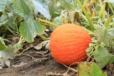 Free Orange Pumpkin Stock Photo - 16341300
