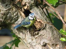 Free Blue Tit Royalty Free Stock Photo - 16341465